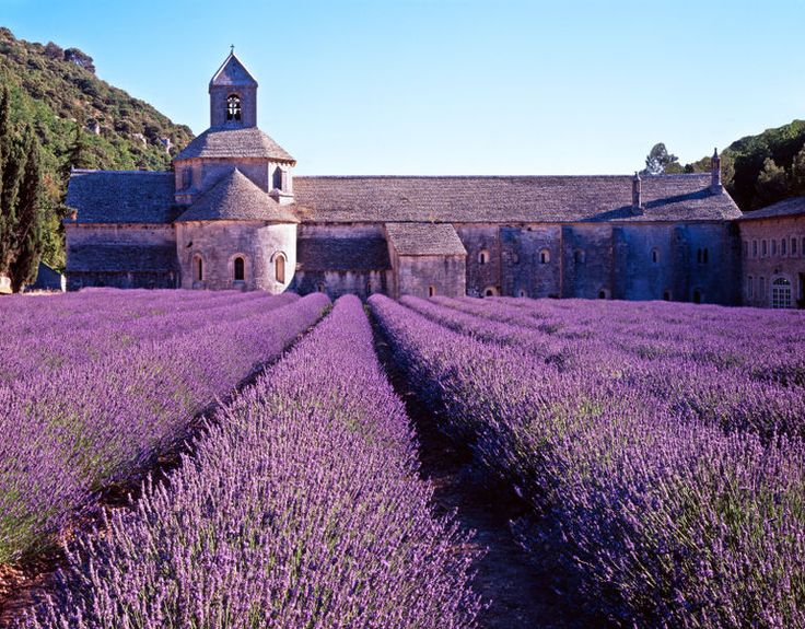 Lavender cultivated field in Provence - Avignon - medieval Abbey of Senanque