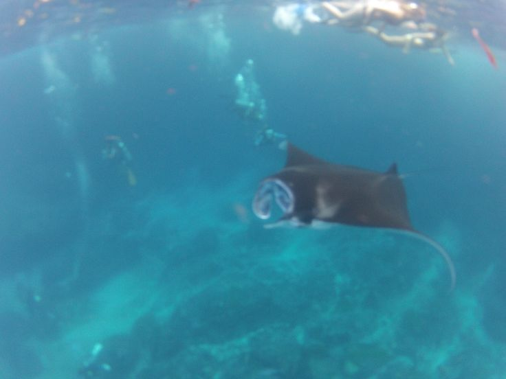 manta-ray snorkels  www.thelembongantraveller.com