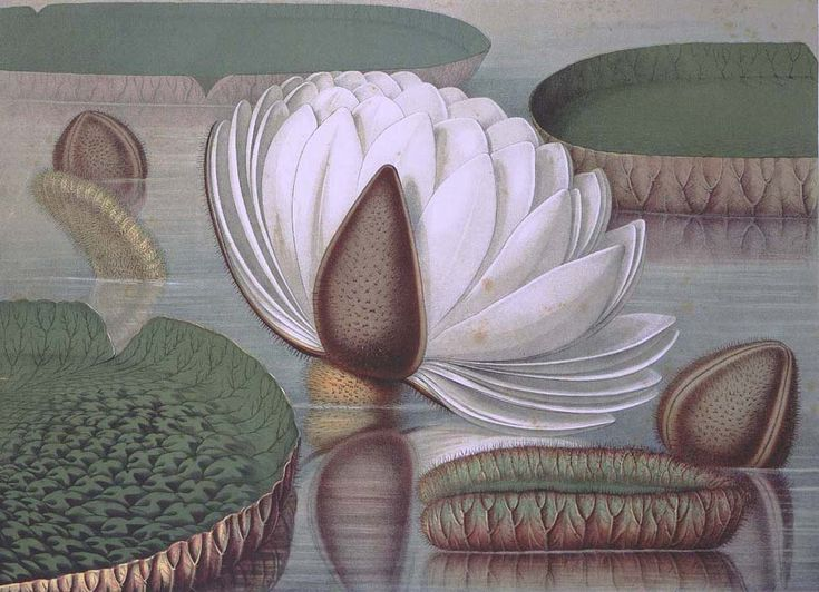 """""""Victoria regia - Opening Flower""""   Walter Hood Fitch   Chromolithograph   from Sir William Jackson Hooker (1785-1865)   Victoria regia; or Illustrations of the Royal Water-lily . ."""