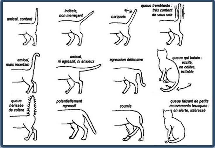 Mieux comprendre son chat. chat-mouvements-queue