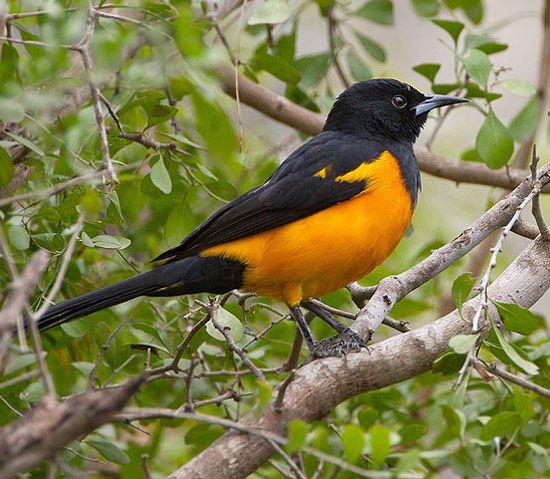 Bird Species - Black-vented Oriole