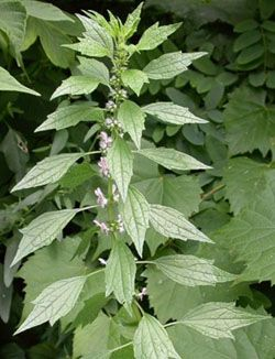 Motherwort is a perennial plant that is best known as an herb that helps the heart and women's disorders. Early Greeks gave pregnant women motherwort who suffered anxiety. The Latin name is derived from the Greek: leon for lion and ouros for tail. The name cardiac comes from kardiaca, meaning heart. Motherwort is categorically a mint that has a very bitter taste.