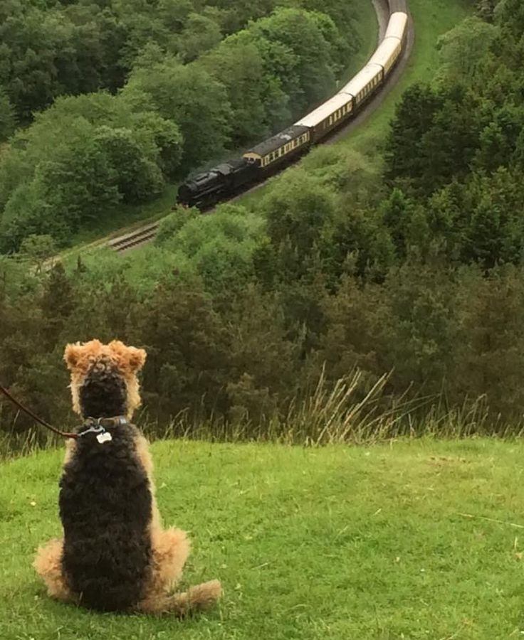 Welsh Terrier watching the train