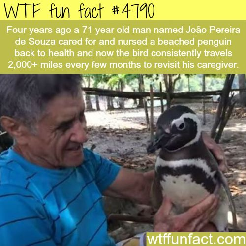 Penguin travels 2,000 miles every few months to visit it's caregiver - WTF fun facts