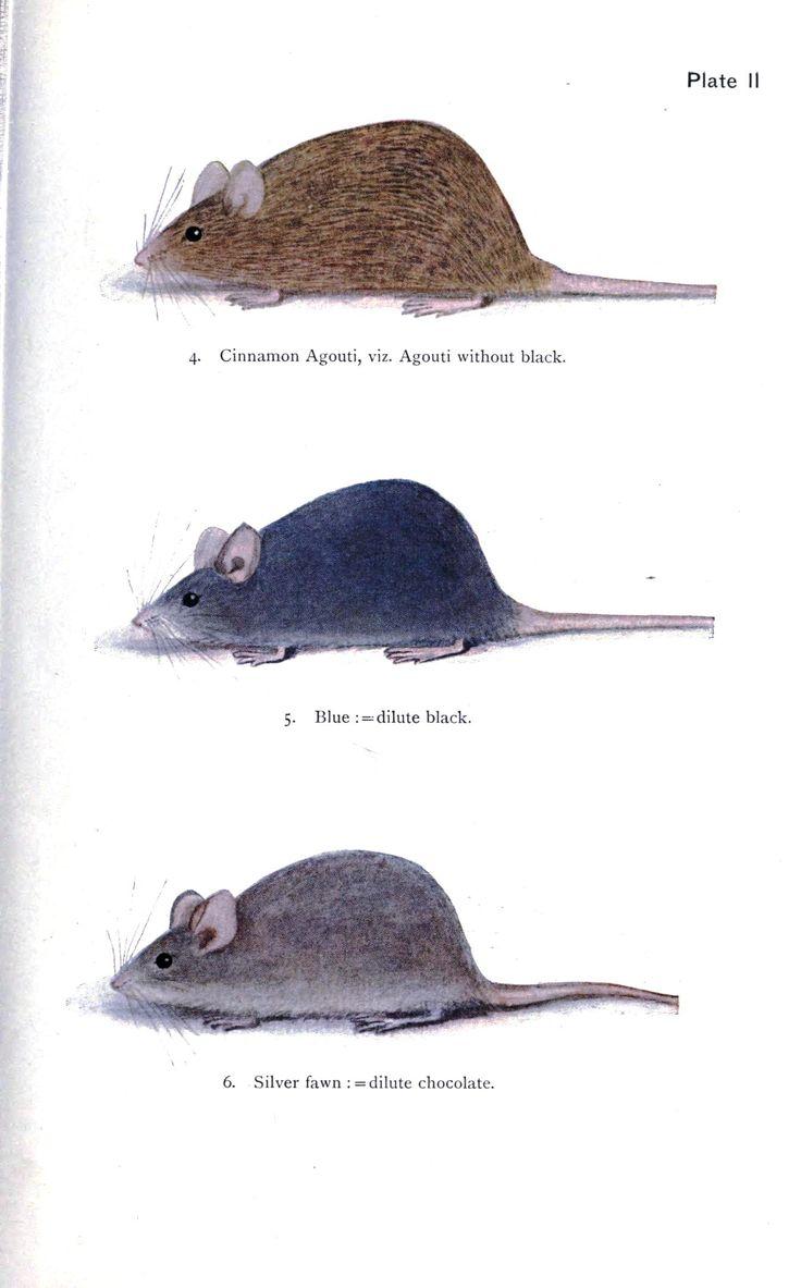 animal genetics mouse coat color 2 fanciest of rodents