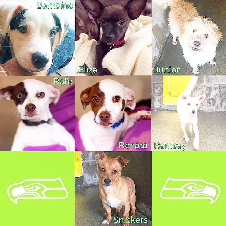 Ok all you #12s how can you say no? Lap warmer on couch next game anyone?? Besides waggily tails=lucky so take one for the team!! SeattleHumane  is open until 8pm tonight!! And even if you aren't in Seattle area or are not a fan how can you not say awwwww to these whittle faces!!! #Seattle #Sammamish #bellevue #redmond #maplevalley #renton #kirkland #instagood #dog #dogs #rescuedog #adoptdontshop #dontshopadopt #washington #issaquah #upperleftusa #seattlehumanesociety #seahawks…