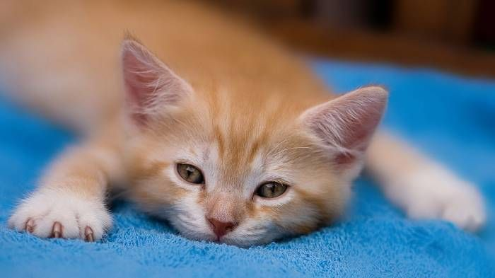 Широкоформатные обои Сонный котенок, Сонный рыжий котенок на голубом махровом покрывале
