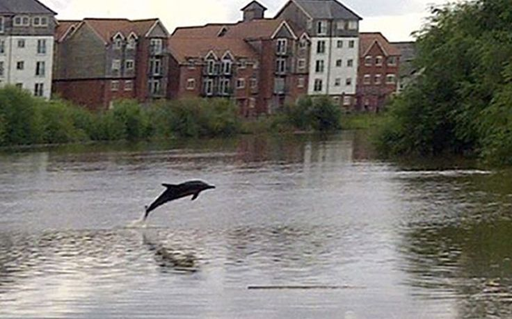 Marine experts think the common dolphin, which is usually more at home in the deep sea water of the Bay of Biscay, must have been chasing fish up the River Dee in North Wales. The disorientated dolphin was first spotted by the public in Connah's Quay docks in Flintshire, North Wales, on Monday but then swam up further up river to Saltney, near Chester, in Cheshire.