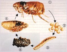 Remédio caseiro para controle de pulgas