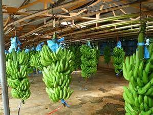 Puerto Limon Costa Rica Banana Plantation