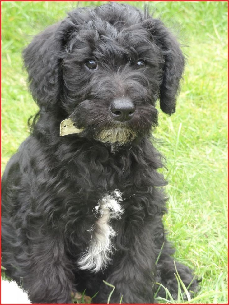 Schnoodle Haircuts 131014 19 Best Schnoodles Images On Pinterest Schnoodle Puppy Schnoodle Dog Schnoodle