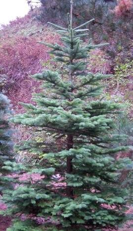 Image of a fir tree for xmas