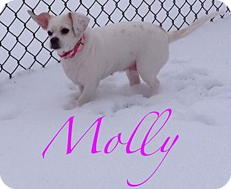 10/30/16 SL~~~07/14/16-Beagle/Chihuahua Mix Dog for adoption in Lincolnwood, Illinois - Molly