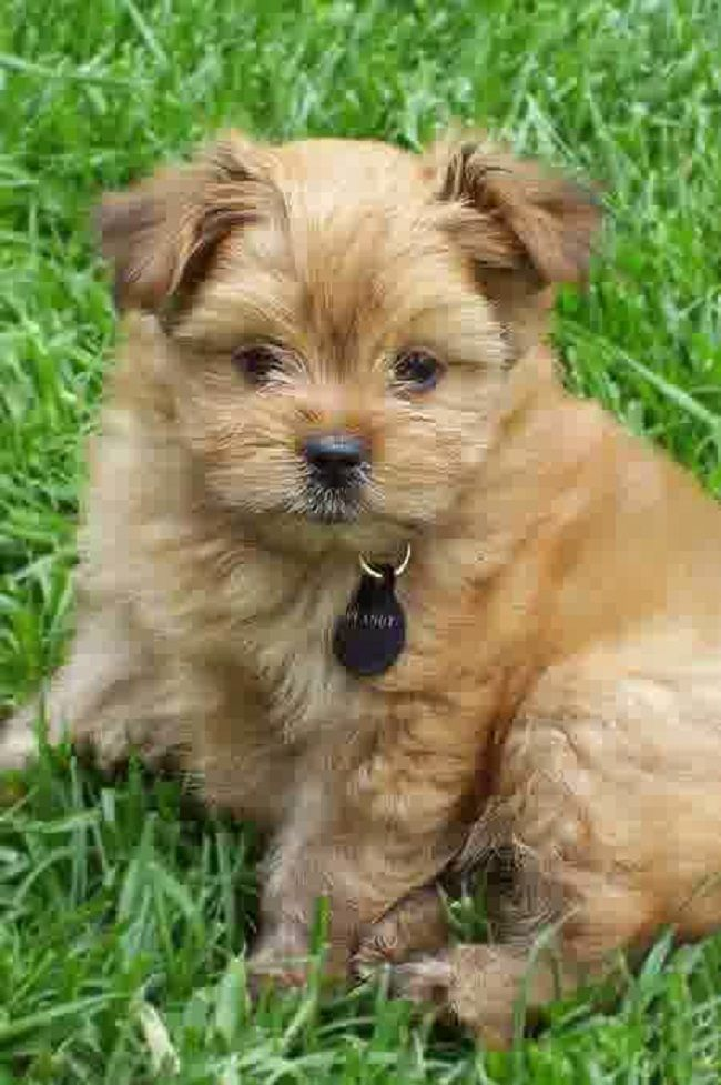 yorkie mix for sale 115 best images about yorkie mix puppies for sale on 5609