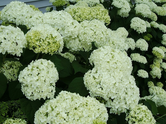 17 best images about hydrangeas on pinterest shrubs the for Annabelle hydrangea