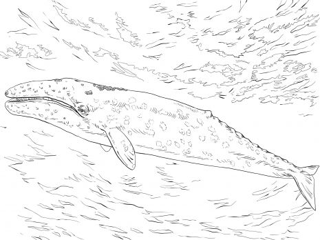 Gray Whale Animal Colouring Pages