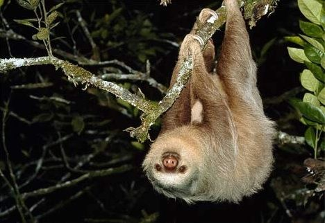 Sloth  The sloth belongs to the edentate family, which also includes anteaters, armadillos, and echidnas. Most edentates are either threatened or endangered species.