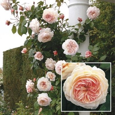 An English Climber 'A Shropshire Lad' David Austin rose - hardy even in zones 4 & 5