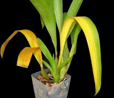 folhas amareladas de orquideas
