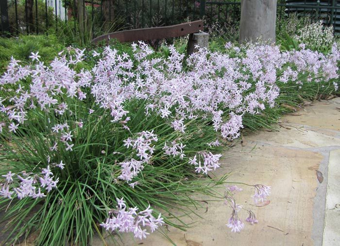 Tulbaghia 'Fairy Star' - Society Garlic - .30 x .20 - Plant Growers Australia Pty Ltd