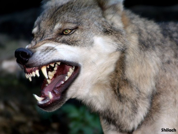 wolf snarling bloody mouth with before