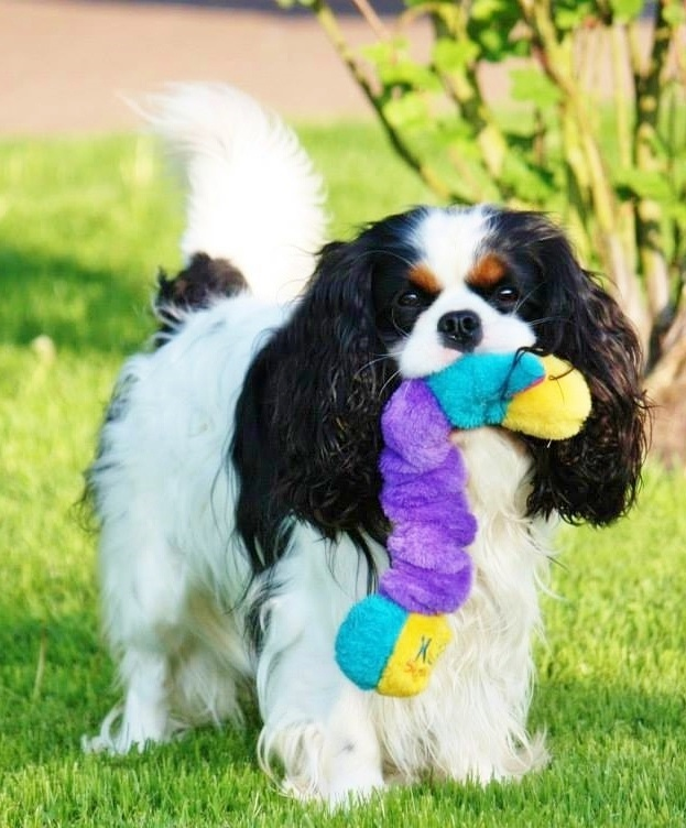 What Are Best Dog Treats For King Charles Spaniels