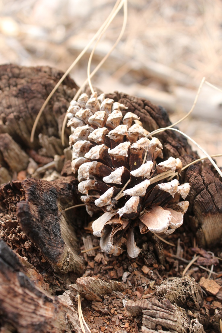 Pine Cone Candles 772 Best Pine Cone Mania Images On Pinterest Pine Cones