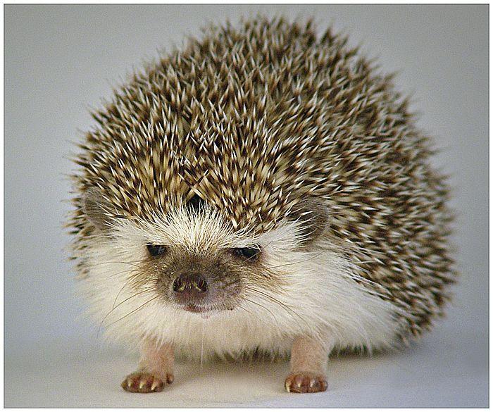 Hedgehog ♥ Siili,sleeping over the winter in my backyard <3