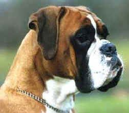 European Boxer - much more majestic than the American version  COOL DOG !!