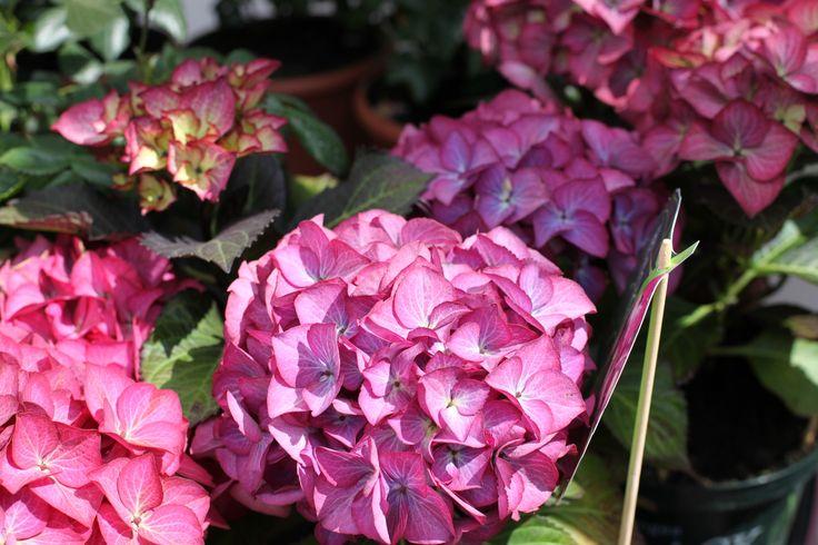 Hydrangea Bk Diamond Baroque - great summer colour, long flowering. www.thepavilion.ie