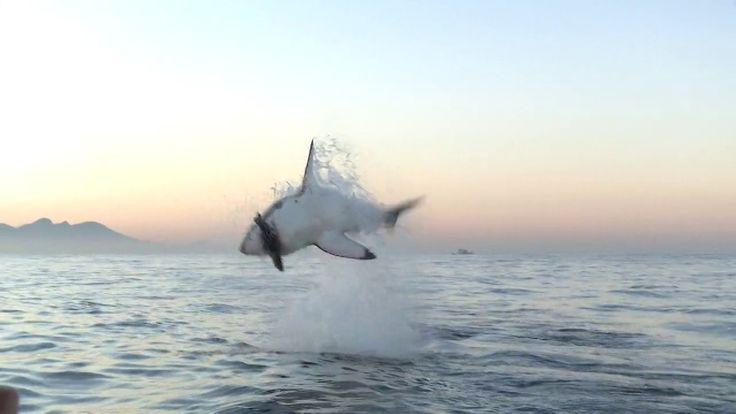 Grosser weisser Hai schnappt sich kleine Robbenattrappe - http://www.dravenstales.ch/grosser-weisser-hai-schnappt-sich-kleine-robbenattrappe/