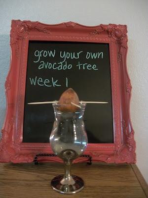 Grow your own avocado tree!: Avocado Tree