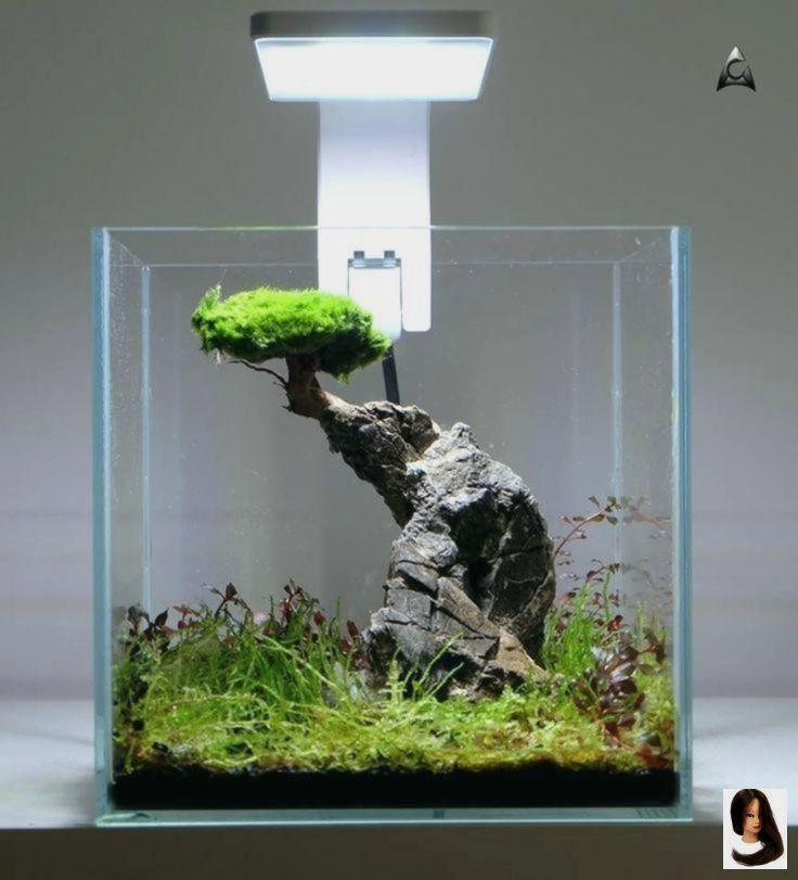 Dr Moss Aquarium Small Malaysian Driftwood Luxurious Set for Fish Tank Decor Real Wood Bogwood