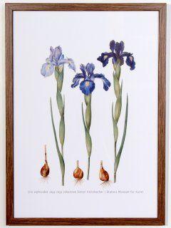 Iris xiphiodes Poster, print size 32 cm x 44 cm 1649-1659 Johannes Simon Holtzbecher SMK.dk