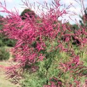 Tamarix ramosissima 'Rubra' (Red tamarisk) Click image to learn more, add to your lists and get care advice reminders each month.