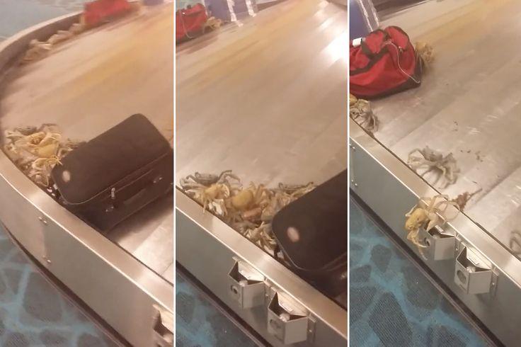 "Crabs invade airport baggage claim, shocking travelers Sitemize ""Crabs invade airport baggage claim, shocking travelers"" konusu eklenmiştir. Detaylar için ziyaret ediniz. http://www.xjs.us/crabs-invade-airport-baggage-claim-shocking-travelers.html"