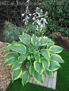 Yellow River.....medium/large hosta w/ long pointed dark green leaves w/ distinct yellow edges, deeply veined, upright form.