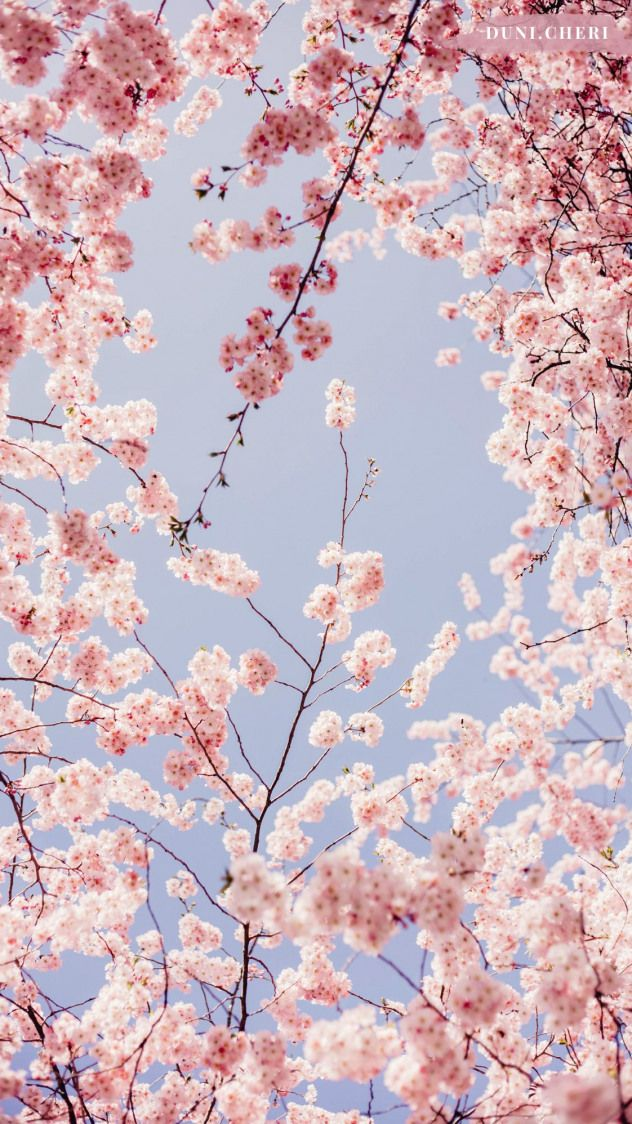Cherry Blossom Wallpaper Free Mobile Japanesegarden Japanese Garden Cherr Cherry Blossom Wallpaper Iphone Background Wallpaper Backgrounds Phone Wallpapers Cherry blossom spring wallpaper iphone