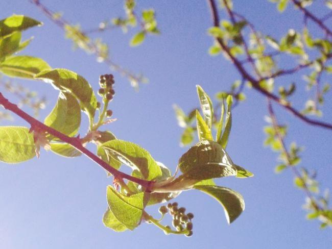 Первая зеленая листва