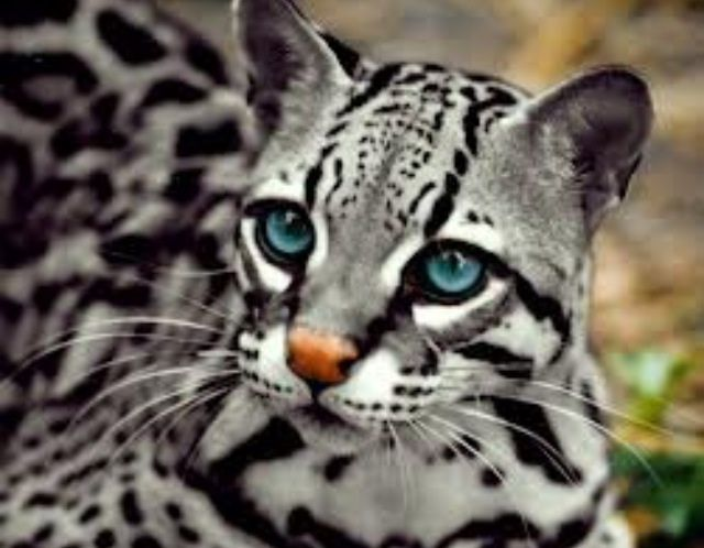 Since the baby ocelot was popular, I present to you: the silver ocelot. - Imgur