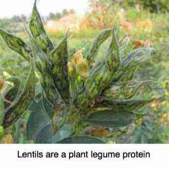 LENTIL PROTEIN is a cheap and easy to prepare source of amino acids.