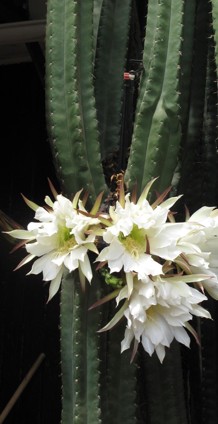 Flowers unique flowers beautiful flowers orchid cactus cactus flower - Especie Suculenta De La Familia Cactaceae Echinopsis Multiplex Til Til
