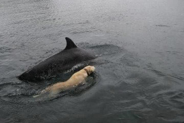 Lab swimming with a dolphin in South Carolina