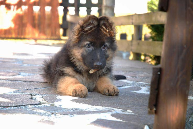German Shepherd long hair dog by Werner2