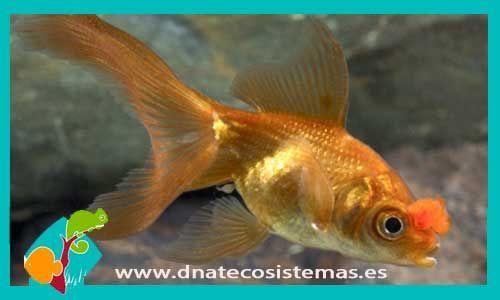 oranda-pompon-6-7cm-tienda-online-peces-venta-de-peces-compra-de-peces-online-peces-baratos