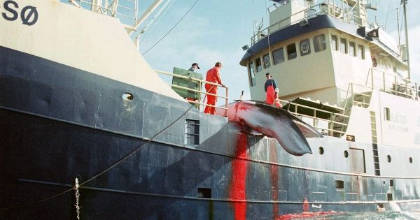 Norway is about to begin the world's biggest slaughter of whales and nobody is watching. International attention remains on Japan and Iceland killings, but we can make this a huge international scandal, and stop it for good. Join now.