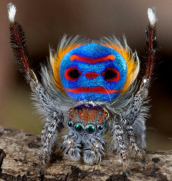 Peacock jumping spiders - photo#52