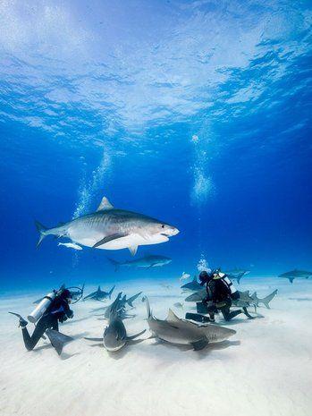 Tiger Beach Bahamas - open water dives - tiger sharks, hammerhead, lemon sharks, stingray