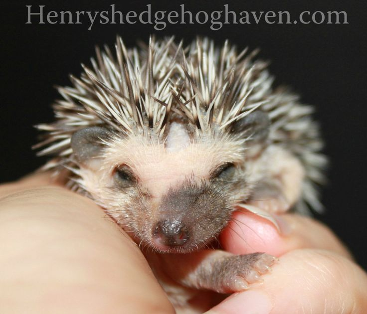 Baby Hedgehog from Henry's Hedgehog Haven