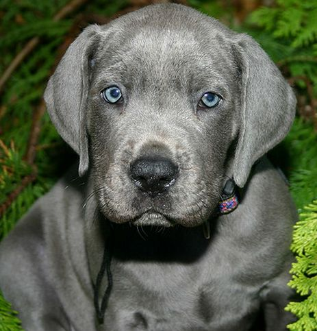 Blue great dane puppy. I will have one of these